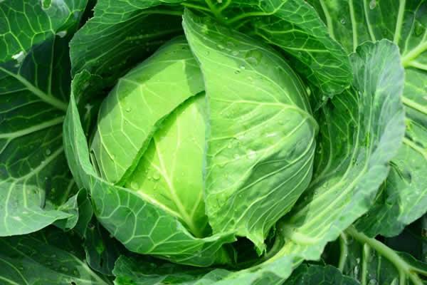 キャベツってこんな野菜